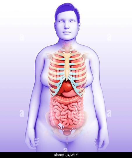 Illustration of female body organs and skeletal system. - Stock-Bilder