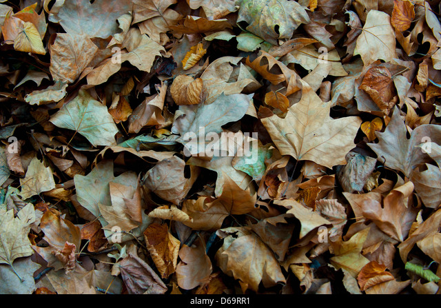 Pile of dried autumn leaves - Stock Image