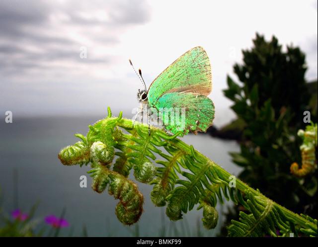 Green Hairstreak Butterfly perched on a fern, Devon Coast, UK. - Stock Image