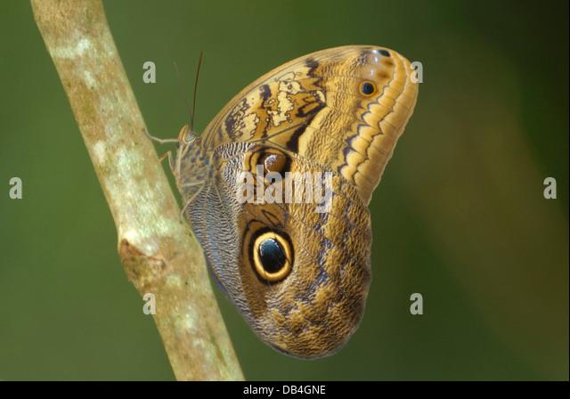 Dusky Giant Owl Butterfly (Caligo illionius) in Costa Rica rainforest - Stock Image