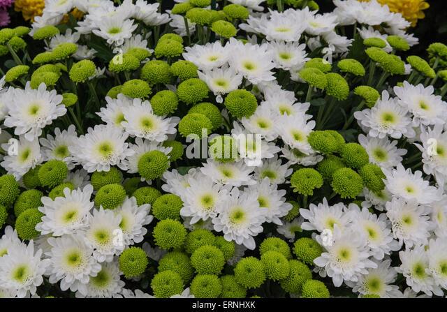 Flower arrangement of chrysanthemums - Stock Image