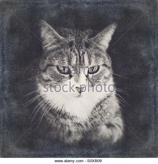 Black & White Portrait of a Cat with Distressed Effect - Stock Image