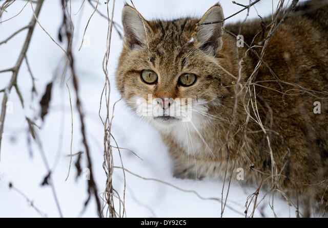 Wildcat predator game predator predators small cats cats cat wild cats Felis silvestris wildcats snow winter animal - Stock Image