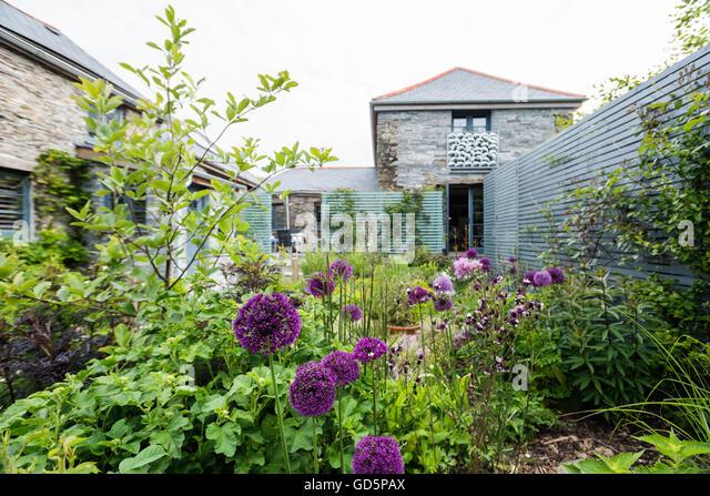 Purple headed alliums in courtyard garden - Stock Image