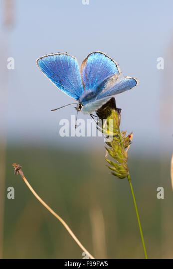 Adonis Blue butterfly (Lysandra bellargus) adult male perched on a Cock's Foot grass flower. Causse de Gramat, - Stock Image