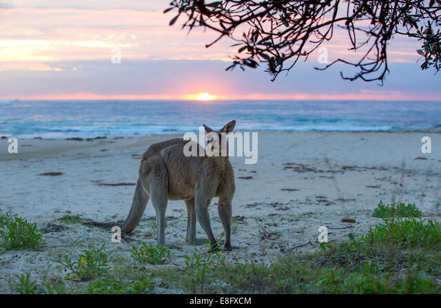 Kangaroo standing on beach, Australia - Stock Image