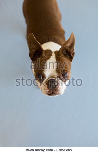 Portrait of Boston Terrier - Stock Image