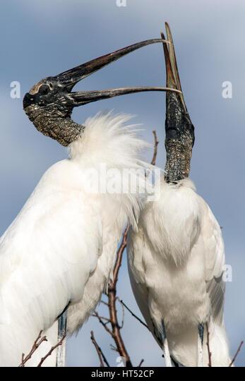 Wood Storks Courtship Behavior - Wakodahatchee Wetlands, Delray Beach, Florida, USA - Stock Image