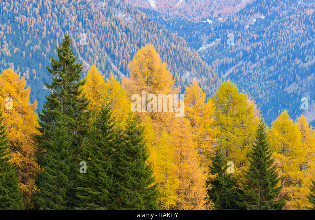 Larches in Autumn foliage in Mountain Forest in Misurina, Cadore, Belluno District, Veneto, Dolomites, Italy - Stock Image