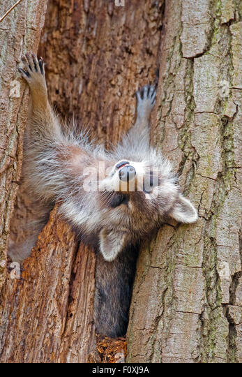 Raccoon asleep in a tree up side down - Stock Image