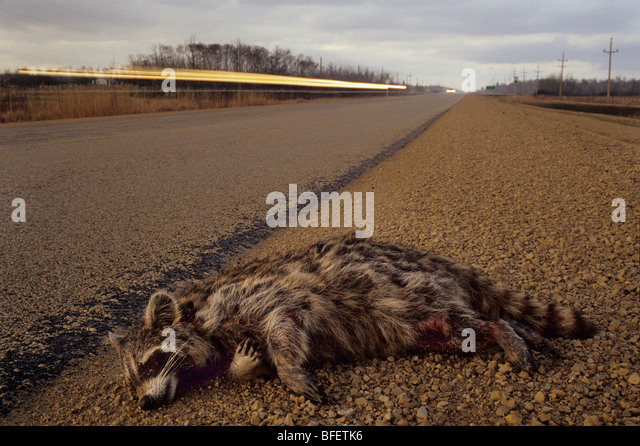 Raccoon (Procyon lotor) roadkill near Teulon, Manitoba, Canada - Stock Image