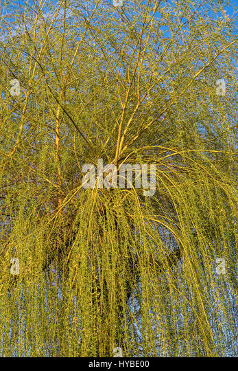 New leaf growth on Goat Willow (Salix caprea) tree. - Stock Image
