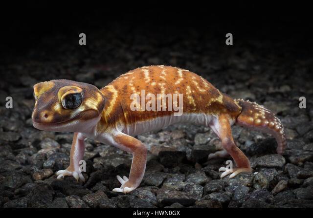 Smooth Knob-tailed Gecko (Nephrurus levis) - Stock Image