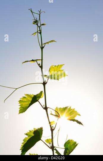 grape vine tendril - Stock Image