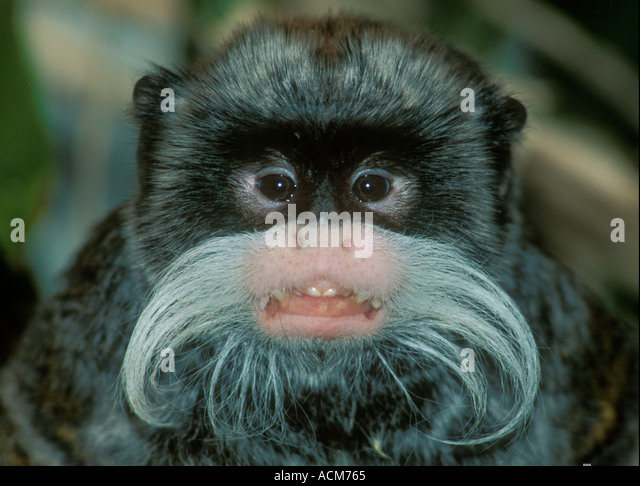 a study on the emperor tamarin monkey in eastern peru Furthermore, 4 of the 5 infected emperor tamarins were part of a single group spanning the entire study period in south america, plasmodium brasilianum was first described in monkeys in the beginning of the 20th century and has now been documented in approximately 31 species of new world.