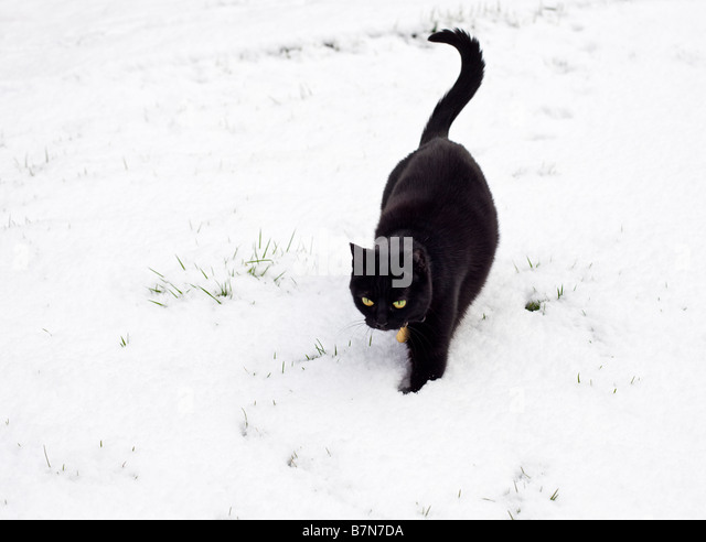 Black cat walking outdoors in deep winter snow PR - Stock Image