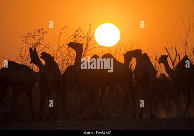 Camels, evening light, Africa, animals, animal, Ethiopia, sundown, sunset, - Stock Image