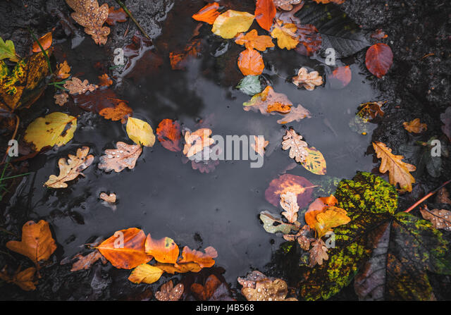 Autumn puddle after the rain with colorful autumn leaves in the dark water in autumn colors in the fall - Stock Image