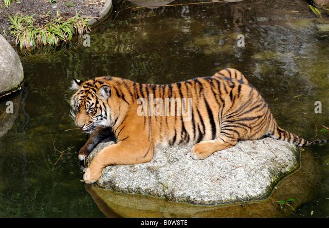 Sumatran Tiger (Panthera tigris sumatrae), Tierpark, zoo, Baden-Wuerttemberg, Germany, Europe - Stock Image