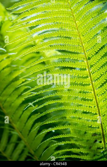 Closeup green fern leaf background - Stock Image