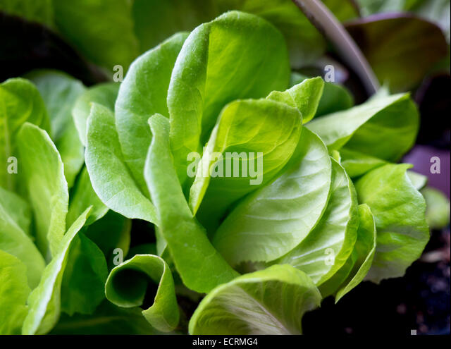 Lettuce leaves growing at a market garden - Stock Image