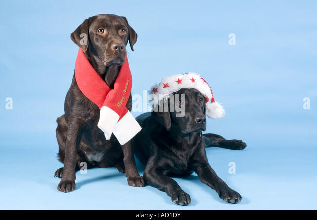 Two Labrador Retrievers wearing a Christmas scarf and a Santa hat, Germany - Stock Image