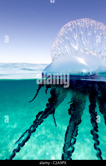 Over/under view of a Portuguese Man of War, a jelly-like marine invertebrate of the Family Physallidae. - Stock Image