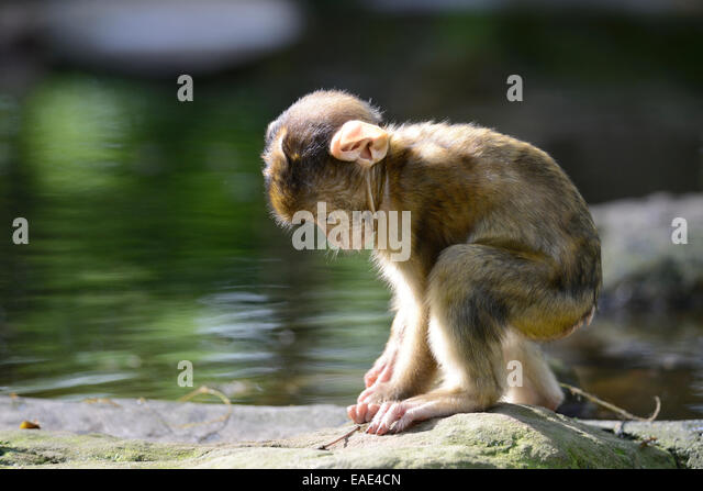 barbary macaque macaca sylvanus stock photos barbary. Black Bedroom Furniture Sets. Home Design Ideas