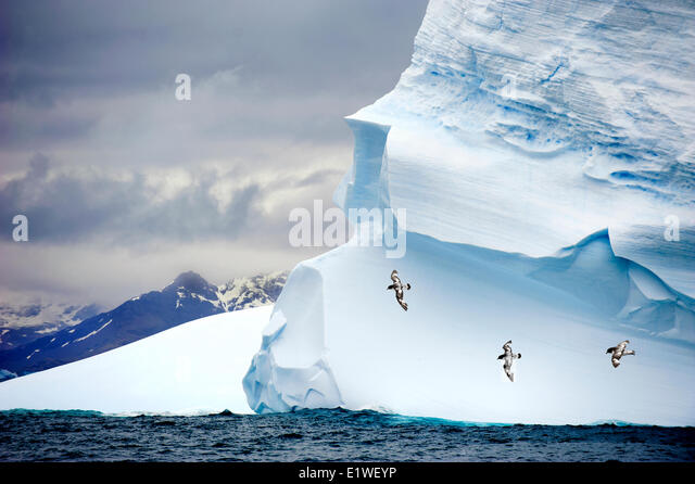 Pintado petrels (Daption capense), soaring past a grounded iceberg, Island of South Georgia, Antarctica - Stock Image
