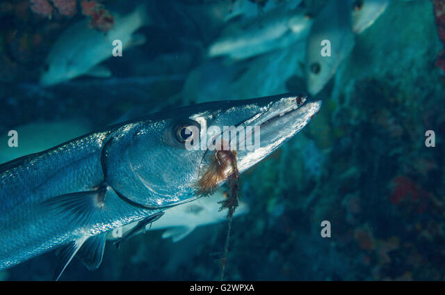 Algae encrusted hook and leader dangles from the mouth of a Great barracuda. - Stock-Bilder