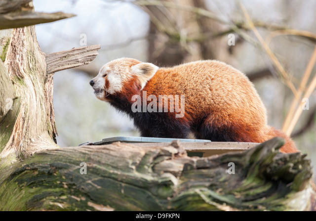 Red panda, Cotswold Wildlife Park, Costswolds, Gloucestershire, England, UK - Stock Image