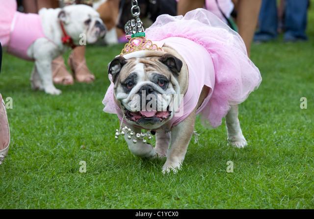 bizarre unusual funny dog 'fancy dress' - Stock Image