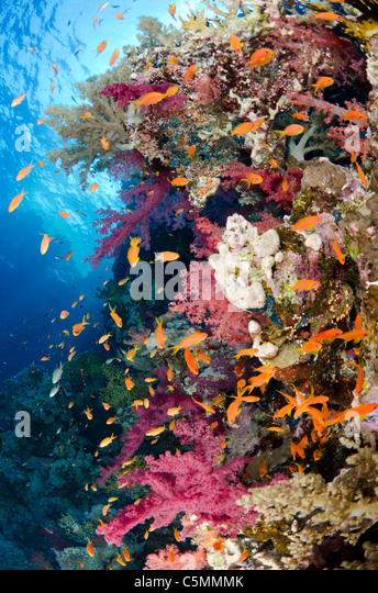 Typical Red Sea coral reef, Straits of Tiran, Red Sea, Egypt - Stock Image