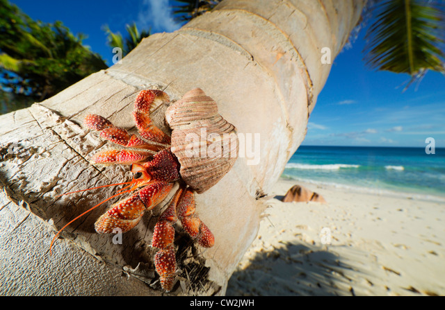 Hermit Crab (Anomura spp) on stem of coconut palm tree. Seychelles - Stock Image