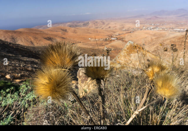 Wild flowers in Mountain Region , Fuerteventura, Spain - Stock Image