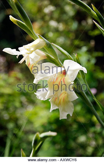 GLADIOLUS NANUS HALLEY PHOTOGRAPH SHOWING A SINGLE SPIKE OF WHITE FLOWERS WITH PINK STRIPES AT THE BASE OF EACH - Stock Image