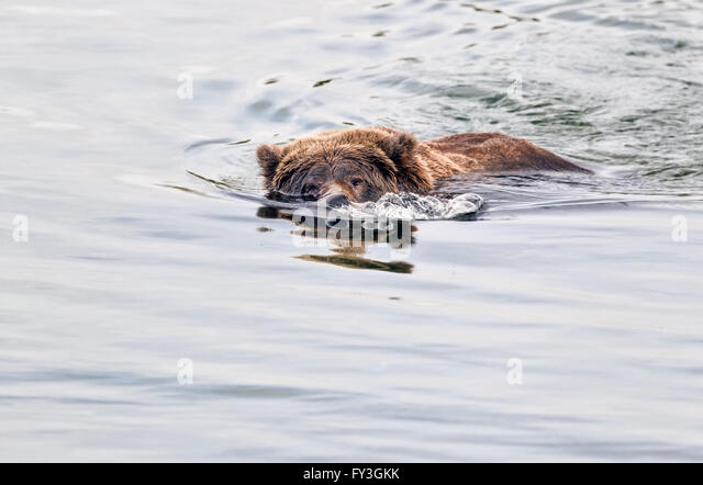 Female brown bear searching for spawning salmon in Katmai National Park, Alaska - Stock Image