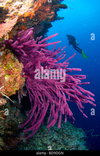 Scubadiver exploring philippine coral reef. - Stock Image