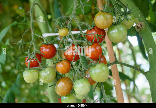 Tomato plant with red and green tomatos - Stock Image