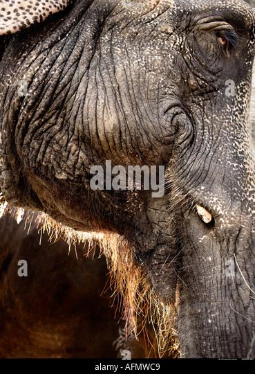 Close up profile of Indian elephant Jaipur India - Stock-Bilder