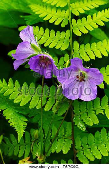 Wid Geranium and Fern, Great Smoky Mountains - Stock Image