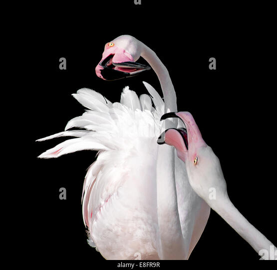 Two flamingoes (Phoenicopteridae) against black background - Stock Image