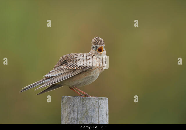 Skylark Alauda arvensis, adult male singing from post,Nottinghamshire,UK - Stock Image