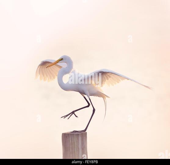 Snowy Egret with Spreaded Wings - Stock-Bilder