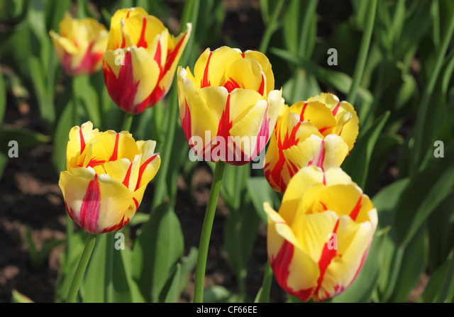 closeup of flowerbed with bright beautiful yellow tulips, World Expression sort - Stock Image