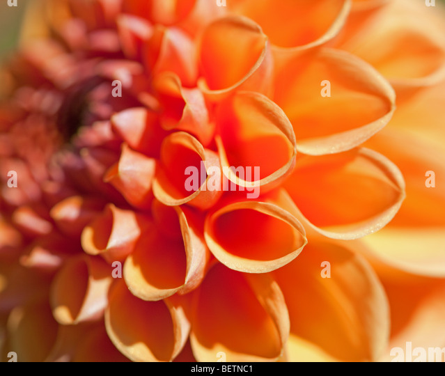 Close up of the heart shaped petals of an orange Dahlia - Stock Image