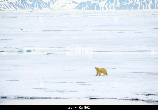 Polar Bear on Pack Ice - Stock Image