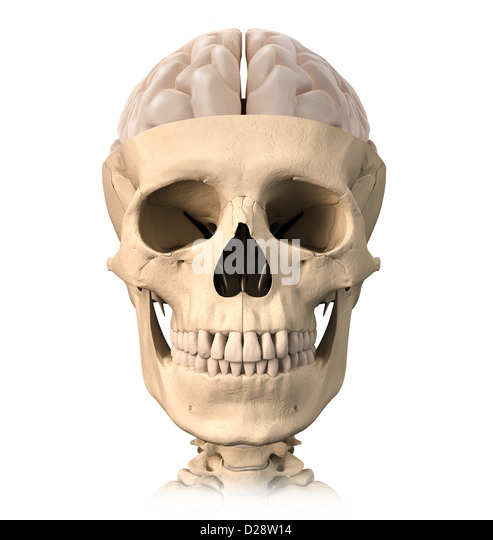 Very detailed and scientifically correct, Human skull cutaway, with half brain shown on top, front view. Anatomy - Stock Image