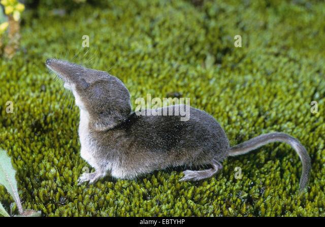 Shrews Stock Photos & Shrews Stock Images - Alamy