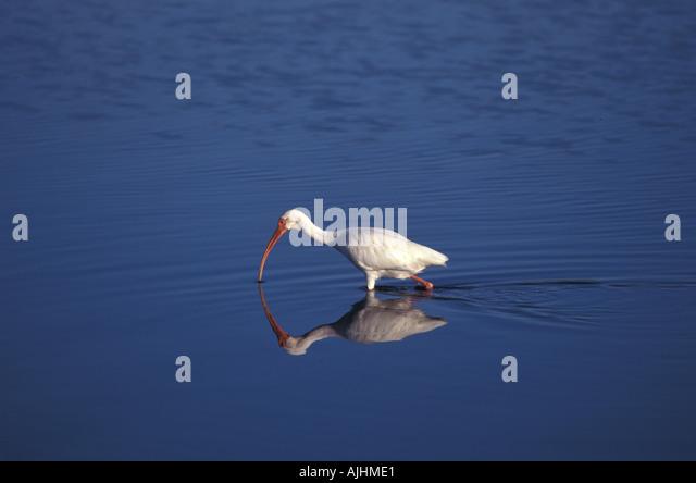 Birds florida fl white ibis - Stock Image